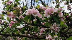 CHARTWELL apples trees in the orchard (claude.lacourarie) Tags: park uk flowers england tree castles apple kent spring unitedkingdom britain eu orchard churchill winstonchurchill manor nationaltrust printemps palaces chartwell manoir cottages statelyhomes manorhouses