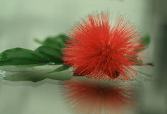 Calliandra (MarthaMGR ❀I´m back again❀) Tags: flower reflection verde nature natureza flor vermelho reflexo redflower calliandra florvermelha canoneosdigitalrebelxs marthamgraymundo