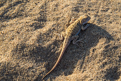 The sand lizard (Rita Willaert) Tags: china cn landscape sand desert dunes lakes inner lizard mongolia camels sanddunes mega herdsmen mongolian binnen innermongolia zandhagedis lacertaagilis mongoli sandlizard zhangye duinhagedis binnenmongoli alxa megadunes mongolianherdsmen
