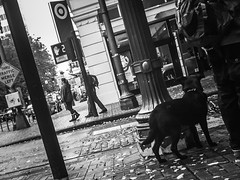 Street Dog Watch (TMimages PDX) Tags: road street city autumn people urban blackandwhite dog pet monochrome animal buildings portland geotagged photography photo image streetphotography streetscene sidewalk photograph pedestrians pacificnorthwest avenue vignette fineartphotography iphoneography