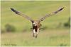 Landing Gear Out! (MAC's Wild Pixels) Tags: kenya ngc npc raptor vulture scavenger africanwhitebackedvulture maasaimaragamereserve landinggearout macswildpixels vultureairinflight