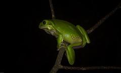 new spring frog (dustaway) Tags: chordata amphibia anura hylidae litoriacaerulea greentreefrog lismore northernrivers nsw nature australia
