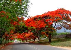 Mutare Spring Time (zimbart) Tags: africa trees red flora zimbabwe delonixregia fabaceae delonix mutare caesalpinioideae