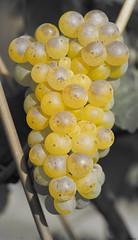 ck grape (Kitschi_) Tags: a7ii autumn grape f28 herbst 90mm tamron laea3 weintrauben 2016 sony ilce vitis