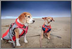 Windy beach I (melekzek) Tags: dog max beach beagle oregon maya chiweenie
