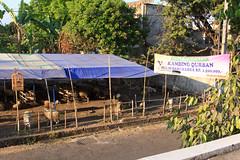 Cheap sheep for Sacrifice Feast (RunningRalph) Tags: indonesia java sheep market yogyakarta jogjakarta markt indonesi schaap daerahistimewayogyakarta offerfeest sacrificefeast
