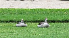 Wild Goose in Mauritius (claudio g) Tags: ocean sea wild beach topo mouse rat wildlife goose mauritius isle oca selvatico ratto selvatiche 5stelle