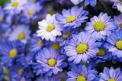 Shilin Residence Chrysanthemum Festival (ddsnet) Tags: plant flower sony taiwan resolution taipei    chrysanthemum  ilc     mirrorless  interchangeablelenscamera shilinresidencechrysanthemumfestival ilce7rm2 7rii