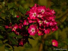 Marjerie Fair (Shiori Hosomi) Tags: november flowers plants rose japan tokyo rosa     rosales rosaceae 2015     23