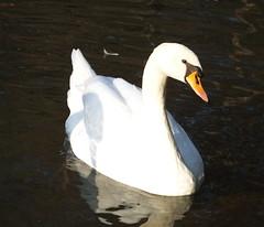 cigno perfetto (PhoToRCh) Tags: pet pets macro rabbit animals duck swan colori animali cucciolo uccello coniglio papera anatre viaggiare