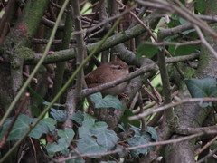 Wren (annrushworth) Tags: wren hedgerow