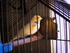 Caged Belgian Canary (Joo Textor) Tags: bird pssaro amarelo caged belgian canary canrio gaiola yellowbird cagedbird canriobelga pssaroamarelo engaiolado belgiancanary cagedcanary