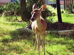 Deer (d1pinklady) Tags: yard lago texas feeding tx posing chips deer vista