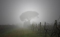 Winter in Canto alla Moraia (Canto alla Moraia) Tags: winter italy fog vineyard wine vineyards tuscany toscana nebbia inverno vigne vino arezzo valdarno 2015 vigna setteponti cantoallamoraia