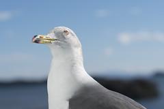 Seagull Black-tailed gull (Jet Daisuke) Tags: trip travel seagull sendai  matsushima miyagi    shorttrip