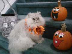 10-year-old Persian cat, Alexis, loves to dress up for Halloween. (allislandmedia) Tags: cat pumpkin skull jackolantern porch