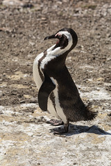 African Penguin (chasingthelight10) Tags: africa travel southafrica photography penguins wildlife events places things westcape boulderbay