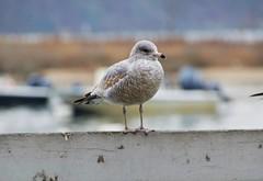 DSC_0864 (Six Sigma Man (Thank you for the 1.9M+ views)) Tags: bird nikon seagull longisland nikond3200 coldspringharbor