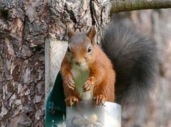 Red Squirrel (eric robb niven) Tags: redsquirrel tentsmuir forest scotland wildlife summer summerwatch autumnwatch