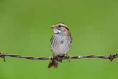 White-throated Sparrow on Barbed-wire-46179.jpg (Mully410 * Images) Tags: barbedwire avian wings beak backyard birds rust wire birder perched birdwatching eye oxidation greenbackground feathers portrait feet bird profile closeup birding isolated sparrow whitethroatedsparrow white