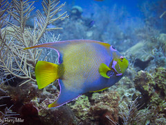 Not Montana (HarryMiller002) Tags: angelfish caribbean reef scuba diving fish underwater