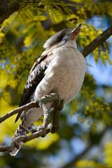 Jacaranda Kookaburra (andyscho2004) Tags: kookaburra kingfisher mtkembla nsw newsouthwales australia au illawarra bird nikon d7100