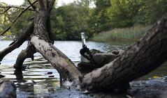"""""""Morgenidylle"""" am Weissen See in Berlin (H2O74) Tags: berlin deutschland germany hauptstadt capitol lake white weiser weisen weisser weissen see weisersee weisensee pankow ortsteil bezirk 2016 morgen morgens frh flasche mll schmutz idylle wasser gewsser stamm baumstamm gest ste wellen h2o h2o74 baum abgebrochener ast algen verschmutzt glas altglas glasflasche park strandbad groser holz totholz ufer sdufer bottle capital sunrise morning lac allemagne bouteille lago botella alemania"""