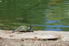 2016-09-04 10-59-41 - P9940506 (ndrs81) Tags: florida robertishere turtle schildkrte floridacity