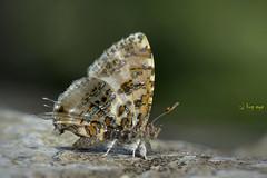 Grey Tinsel / Catapaecilma major /  (bug eye :) Thailand) Tags: animals butterfly grey forest rainforest tropical oriental doisuthep chiangmai