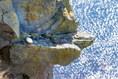 Platform for Puffin _4997 (hkoons) Tags: latrabjargcliffs westfiords westfjords atlantic iceland latrabjarg bay beach birds cliff feathers fiord fjord flight fly inlet island nest nests north ocean peninsula saltwater sand sea seabirds surf water waves wings