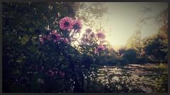 Monet (Giulia_) Tags: france jardin fleur etang nympha normandie monet giverny sep16 aster