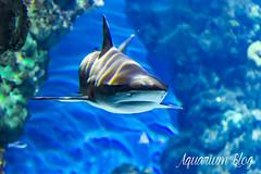 Carcharhinus melanopterus (1) (AquariumBlog.es) Tags: acuario aquarium peces fish pez marino saltwater water freshwater dulce agua corales payaso clown sepia acantharus pterois pomacanthus barcelona arrecife reef