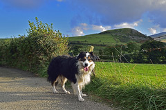 Just A Dog (Mike & Indy) Tags: laddie dog dogs bordercollie llanfairfechan northwales landscape explore