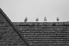 untitled (robwiddowson) Tags: roof house bird birds animal animals wildlife robertwiddowson photo photograph photography image picture nautre natural