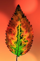 Cherry Leaf (There and back again) Tags: cherry leaf autumn green yellow orange red