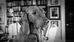 Hound I (#Weybridge Photographer) Tags: adobe lightroom canon eos dslr slr 5d ii goodwood house hound lodge statue west sussex mkii westsussex stone hotel stately home