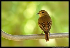 Beauty of The Nature (asifsherazi) Tags: blackredstartfemale lahore pakistan asifsherazi