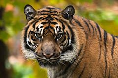 Sumatran Tiger 48 (cypher40k Photography) Tags: bigcat color colour nikon sumatrantiger tiger toronto torontozoo zoo