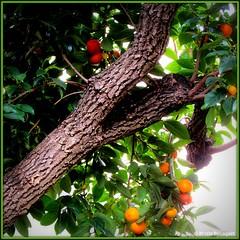 Mon bel oranger (bleumarie (+ de 3 000 000 vues. Merci !)) Tags: carr formatcarr