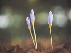 And some more Autumn Crocus (A_Peach) Tags: blume gx8 helios park pflanze autumn flower plant autumncrocus autumncolours herbst herbstzeitlose herbstfarben panasoniclumixgx8 helios442 outdoors dof bokeh vintagelens