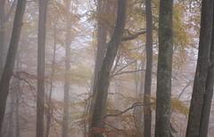 November (Xtraphoto) Tags: trees bäume wald forest november nebel nebelig foggy fig mystik