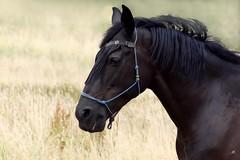 Paard (Equus ferus caballus) (mia_moreau) Tags: paard horse limburg zuidlimburg nederland sony zoogdier paardenportret dierenportret paardenhoofd miamoreau equusferuscaballus cheval pferd