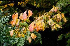 RHS Wisley Autumn EB050199_10 (tony.rummery) Tags: autumn autumncolours closeup em10 gardens leaves mft macro microfourthirds omd olympus park plants rhswisley wisley england unitedkingdom gb