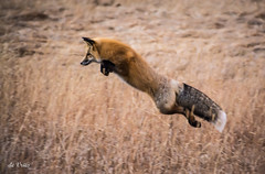 Pounce! (Dr. Farnsworth) Tags: fox redfox mammal grass hunting jump sneak attack rmnp co colorado fall october2016 ngc nationalgeographic fantasticnature