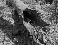Blown Apart (.:Axle:.) Tags: oakville ontario canada trail park hike woods forest lunchbreak fall greenspace oakvillepark ravine creek stream graflex pacemakercrowngraphic crowngraphic presscamera largeformat viewcamera 4x5 sheets schneiderkreuznachsymmars156210 ilford ilfordhp5 hp5 asa200 pyro pyrocathd 11100 photographersformulary pentaxspotmeterv adobephotoshopcc epsonv700 film filmphotography bw blackwhite believeinfilm filmisnotdead filmisalive