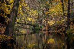 Rzeka tajemnic (Kosmi88) Tags: autumn outdoor openair poland sun october plant river rzeka red reflection d60 drzewa forest jesie las leaf licie nikond60 nature natura