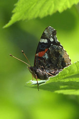 Red Admiral (Delta Naturalists Casual Birding) Tags: 201519 dncb colony dncblocation dncboutingid