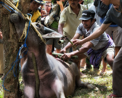 the first blood... (Collin Key) Tags: culture manene sulawesi anthropology animalsacrifice tanatoraja londa ritual waterbuffalo indonesia sacrifice idn