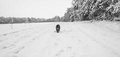 "beware of the ""tiger"" 2 (Mona Monday (CThomsen)) Tags: cat katze black white weis schwarz nature natur snow pet haustier tier animal cold kalt spaziergang tiger beware"