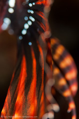 """""""Flamenco"""" Abstract (scuba_suzy) Tags: bali fish indonesia nature pattern places sealife underwater abstract lionfish macro pongpong"""